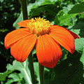 Mexican Sunflower 23 by Amy E Fraser