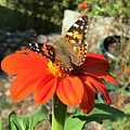 Mexican Sunflower 24 by Amy E Fraser