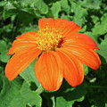 Mexican Sunflower 25 by Amy E Fraser