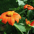 Mexican Sunflower 26 by Amy E Fraser