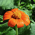 Mexican Sunflower 27 by Amy E Fraser