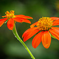 Mexican Sunflower Duo by Sabrina L Ryan