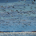 Migration Of The Snow Geese by Bob Christopher