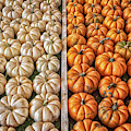 Mini Pumpkins by Alison Frank