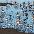 Mixed Flock Of Shorebirds by Robert Potts