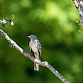 Mockingbird by David Morefield
