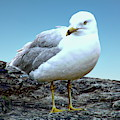 Moewe Seagull by Anthony Dezenzio