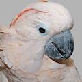 Moluccan Cockatoo by Debbie Stahre