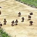 Momma And Ducklings by Allen Nice-Webb