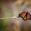 Monarch 7 by Bill Wakeley