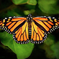 Monarch Butterfly by Brian Tada
