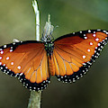 Monarch Butterfly by Cecilio Martinez