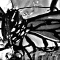 Monarch Butterfly In B W by Rob Hans