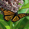Monarch Butterfly On Common Milkweed Din0060 by Gerry Gantt
