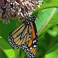 Monarch Butterfly On Common Milkweed Din0061 by Gerry Gantt