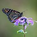 Monarch Butterfly Portrait by Dale Kincaid