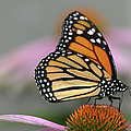 Monarch Butterfly by Wind Home Photography