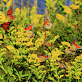 Monarch Gathering 1 by Roger Becker