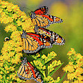 Monarch Gathering 2 by Roger Becker