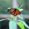 Monarch On A Green Plant by Cynthia Guinn