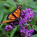 Monarch On Purple Flowers by Cynthia Guinn