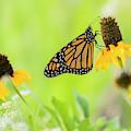 Monarch On Wildflowers by Aaron Hamilton