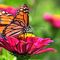 Monarch Visiting Zinnia by Angela Rath