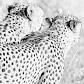 Monochrome Cheetah Brothers by Mark Hunter
