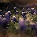 Moody Texas Bluebonnets  by Andrea Anderegg