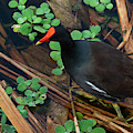Moorhen Reeds Green Cay Wetlands Florida by Lawrence S Richardson Jr