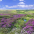 Moorland Heather And Cottongrass by Martyn Arnold