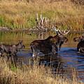 Moose At Green Pond by Gina Herbert