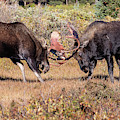 Moose Bulls Spar In The Colorado High Country by Tony Hake