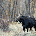 Moose Cow Study by Jean Clark