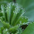 Morning Dew Drops by Jean Noren