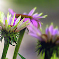 Morning Sun On Pink Coneflowers by Amy Dundon