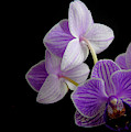 Moth Orchid by Perry Correll