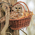 Mother And Baby Barred Owl In A Basket by Dan Sproul