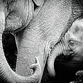Mother Elephant With Baby, Black And by Toos