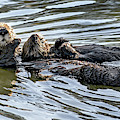 Mother Sea Otter Relaxing With Baby by Susan Wiedmann