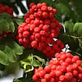Mountain Ash Berries by Kae Cheatham