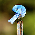 Mountain Bluebird Preening by Judi Dressler