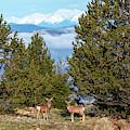Mountain Mule Deer by Steve Krull