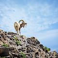 Mountain Sheep by Scott Kemper