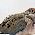 Mourning Dove In Winter by Peggy Collins