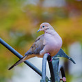 Mourning Dove by Robert L Jackson