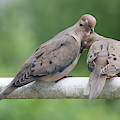 Mourning Love Doves by Terry DeLuco