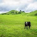 Mt Diablo Cow by Scott McGuire