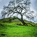 Mt Diablo Oak Tree by Scott McGuire