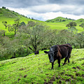 Mt. Diablo Spring Hillside Cattle by Scott McGuire